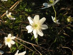 Anemone nemorosa DSCN7650 (aorg1961 stalked by Suipixel) Tags: las natur pflanze pflanzen polska blumen polen moor blume blüte sonne wald bagno kwiaty frühling słońce sonnenschein wiosna przyroda kwiat buschwindröschen anemonenemorosa sumpf zawilec windröschen waldboden roślina sonnenlicht rośliny waldwiese zawilecgajowy mokradła poszycie leśnałąka światłosłoneczne