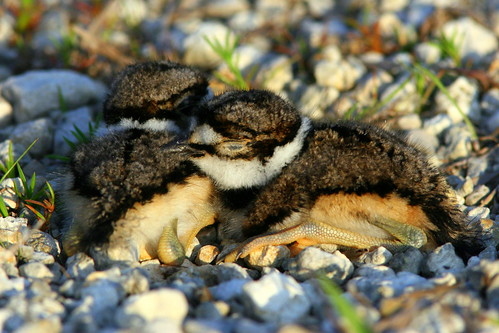 Two Kildeer Nestmates 20090416