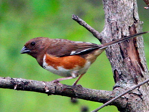 Eastern Towhee Female 20090508