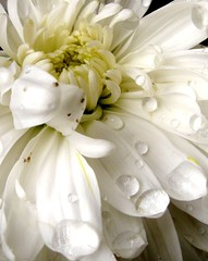 wings of an angel (life begins with 4t) Tags: white plant flower art nature water canon droplets philippines 4t justnature dragondaggerphoto dragondaggeraward