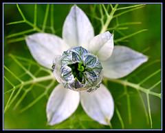 From a Mother's Heart ~ LOVE (champbass2) Tags: california blue white mist flower macro love nature northerncalifornia garden mom nikon heart mother soe nigella loveinamist d90 sigma50mmf28 mywinners champbass2