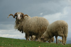 Sheep in Shqip (pronounced scheep) (CharlesFred) Tags: countryside europa europe sheep albania balkan pecore schaap agneau balcani shqiperia albanie balcanica shqip southeasteurope ballkan  balkanhalbinsel   ballkanik ovejebalkan thisisthebalkans achainofwoodedmountains haemus