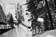 % (isf) Tags: dog budweiser drunkdogcontaxt21600iso