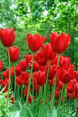 keukenhof 16.mai 2009 (Dany Morgens) Tags: flowers red holland green netherlands tulips blumen tulpen lisse keukenof top20red
