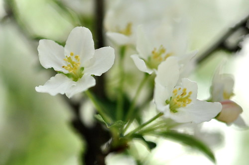 Adirondack Crabapple Blooms