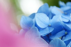 pink & blue (coco_tsukihime) Tags: aplusphoto astoundingimage wonderfulworldofflowers awesomeblossoms platinumpeaceaward flickrunitedaward