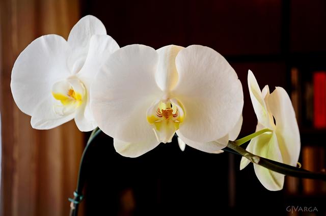 orquídea_1