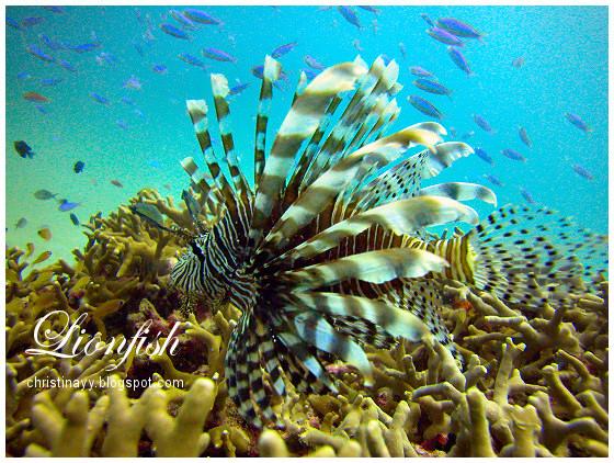 Cairns: Lionfish