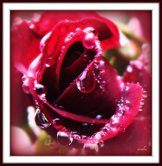 ~~ tears of a rose ~~ (xandram) Tags: red wet rain rose photoshop raindrops picnik morerain toomuchrain icantstandanymorerain