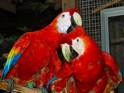 Scarlet Macaw - Macaw Mountain Bird Park - Copan Ruinas, Honduras - flckr - Adalberto.H.Vega