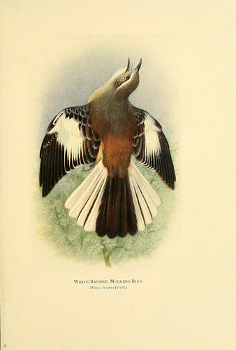 017- Calandria real-Birds of La Plata  1920