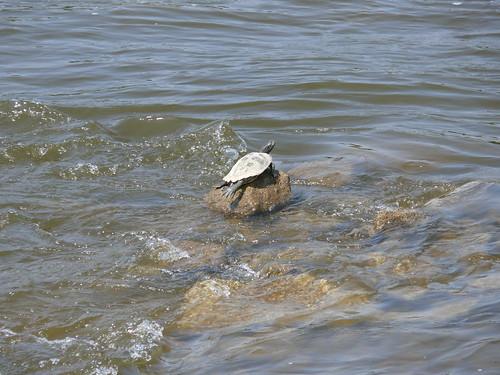Turtle on the Rocks