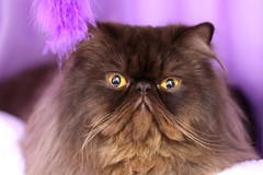 Karnak National Cat Show (Jaime Carter) Tags: show newzealand cat 50mm persian hamilton competition waikato f18 karnak hamiltongardens jaimewalsh hamiltonrosegardens hamiltongardenscatshow ninelivesallbreedscatclub catzinc hamiltongardenspavilion hamiltoncatclub 16august2009 karnaknationalshow catzincnz