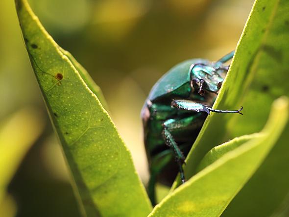 081809_beetle