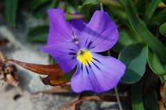 Viola (upsa-daisy) Tags: summer schweiz switzerland suisse sommer svizzera viola engadin oberengadin veilchen graubünden grisons upperengadine grigioni