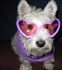 Looking Good??    28/52 (ellenc995) Tags: pink friends dog pet animal scarf riley glasses funny purple westie canine dressedup westhighlandwhiteterrier fff abigfave pet100 100commentgroup 52weeksfordogs bestofspecialpetportraits naturallywonderful thesunshinegroup