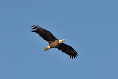 Bald Eagle DSC_7141