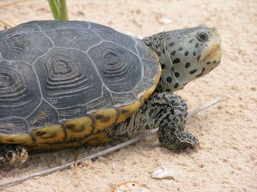 Diamondback Turtle picture by Flickr User USFWS Headquarters