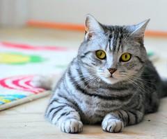 sitting sumo champion (palinta) Tags: cat silver tabby british cica sorthair bodza dagadt cskos palinta