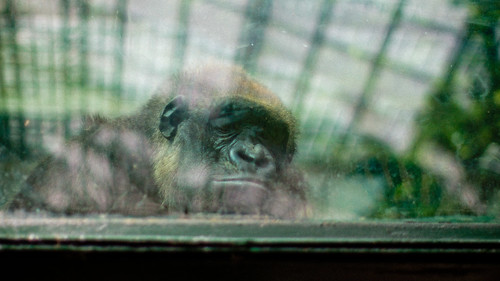 Sad gorilla @ Zoo de Beauval