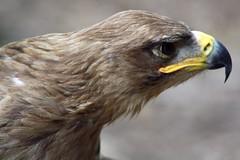 I'm ready for my close up...... (Laura Rowan) Tags: canon rebel eagle birding stlouis missouri captive tawnyeagle worldbirdsanctuary