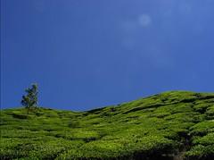Tea (gilichupak) Tags: india tea kerala hills munnar