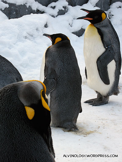 Bunch of King Penguins
