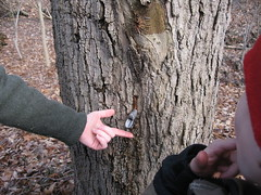 After we drilled and reached sap, we hammered in a spile to be the spout carrying sap from the tree to the bucket