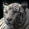 COLD (tropicaLiving - Jessy Eykendorp) Tags: cold indonesia wildanimal endangered tropicaliving siberianwhitetiger jessyce tropicalivingtropicalliving ilovewildanimal
