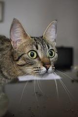(malala haimovich) Tags: pet cat eyes gato gata felino mascota malalahaimovich