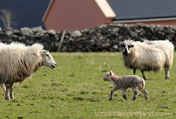 Spring lamb in Dingle