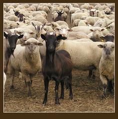 """A fekete""""bárány"""" :-) (skriszta) Tags: sheep goat kecske olympusc4040z bárány"""