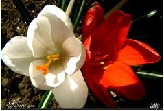 Colour in my garden at last. (♥ Katie ann. Off more than on.) Tags: fantasticflower amazingamateurphotographer goldsealofquality flickrsfantasticflowers damniwishidtakenthat handselectedphotographs