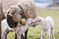 [フリー画像] [動物写真] [哺乳類] [羊/ヒツジ] [親子/家族] [子ヒツジ]      [フリー素材]