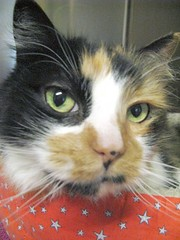 Vivien, Lovely Long-haired Calico Cat (Pixel Packing Mama) Tags: catsandkittensset heartlandhumanesociety pixelpackingmama dorothydelinaporter calicoandtortishellcatspool montanathecat~fanclubpool spcacatspool closerandclosermacrophotographypool ceruleanthecat~fanclubpool melfanclubpool macrocloseupshotspool catfacespool allcatsallowedpool allthingsmacropool canonpowershota720isiistart112508set canonallcanoniistart112508set thecorvallisoregonyearsiistarting112508set uploadedfirsthalfof2009set uploadedfirsthalfof2009 thecorvallisoregonyearspart7set pixelpackingmama~prayforkyronhorman oversixmillionaggregateviews over430000photostreamviews