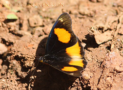 Blue Spot Commodore (Precis westermanni) (macronyx) Tags: africa nature butterfly insect wildlife pansy insects papillon commodore uganda mariposa schmetterlinge farfalle fjril junonia sommerfugle precis perhoset bluespotpansy junoniawestermanni preciswestermanni bluespotcommodore