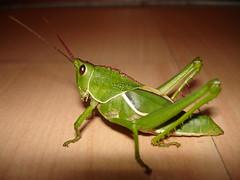Gafanhoto rei (Andregm.bio I) Tags: macro insect inseto orthoptera macrophotography gafanhoto grilo macrofotografia grasshoper acrididae caelifera
