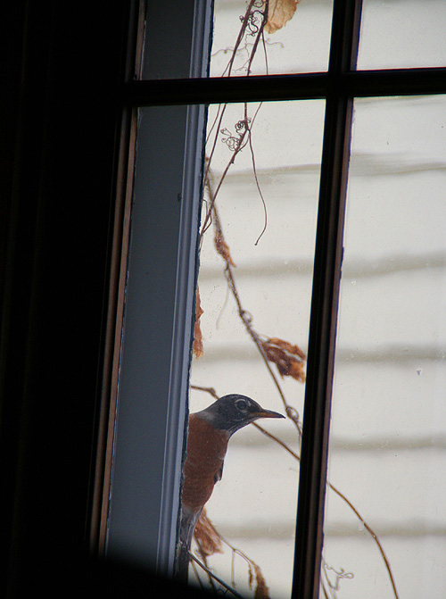 peeping robin