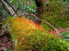 Moss | Pennsylvania (*Arielle*) Tags: nature forest moss spring log pennsylvania mossy spore arielle capsules ariellekristina