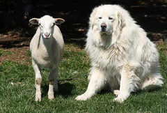 Great Pyrenees livestock protection dog
