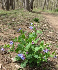 Bluebells Near the Potomac