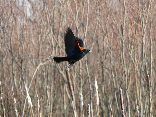 Red-winged blackbird at Huff Park