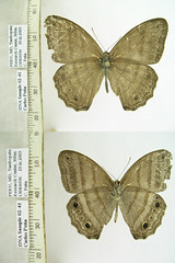 Magneuptychia pallema
