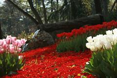 emirgan korusu 4, istanbul (obscura-pzr) Tags: flower nature turkey garden trkiye istanbul tulip iek lale doa