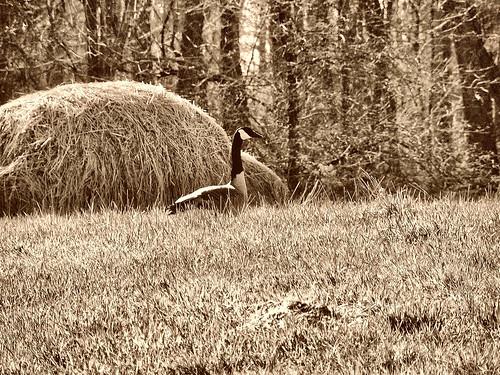 sepia goose