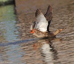 Belly Smacker!! (JRIDLEY1) Tags: brown green water golden duck spring wings pond nikon brighton michigan mallard zenfolio nikond3 jridley1 jimridley photocontesttnc09 dailynaturetnc09 httpjimridleyzenfoliocom photocontesttnc10 lifetnc10 photocontesttnc11 photocontesttnc12 photocontesttnc13