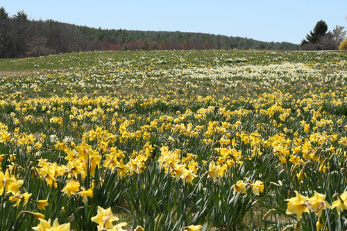 Image result for Tower Hill daffodils