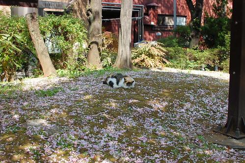 桜の花びらの上で寝る猫