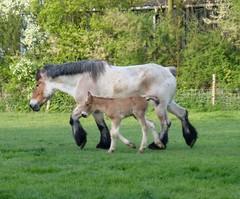 (Inge Fienieg) Tags: horse spring weide lente paard paarden loh knol foal veulen