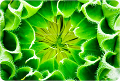 One Sweet World (Yug_and_her) Tags: sun india plant flower green nature leaves yellow rural early petals nikon save environment suburbs hyderabad shankar protect earthday blooming pally 18200vr d80 earthdaypledge greenismylatestfavcolor pcamultiple